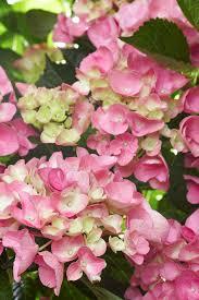 Choose The Best Hydrangeas For Your Garden Better Homes