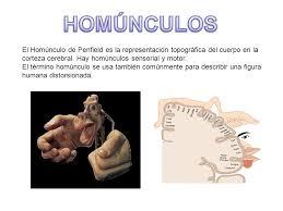 homÚnculos el homúnculo de penfield es la representación topográfica del cuerpo en la corteza cerebral