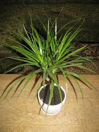 dracaena poisonous