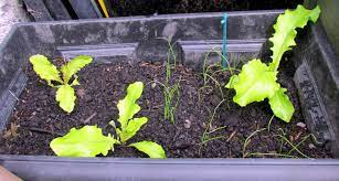 how to grow lettuce in containers in a