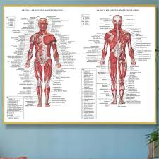 Details About Human Body Muscle System Anatomy Chart Educational Posters Home Decor Silk Cloth