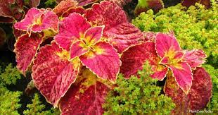 is coleus poisonous to people dogs