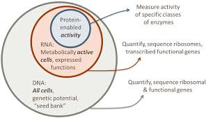 Translation Vs Transcription Venn Diagram The Canonical Continuum Of Transcription Of Dna To Rna And
