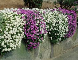 aubrieta arabis low perennial 0004807