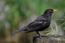 Image result for black bird