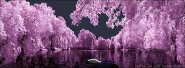 purple swan tulips