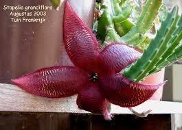 Resultado de imagen para stapelia grandiflora