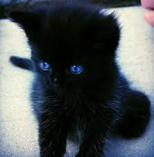 fluffy black kittens with blue eyes. Fine With I Want A Black Kitten With Blue Eyes Inside Fluffy Kittens With Eyes C