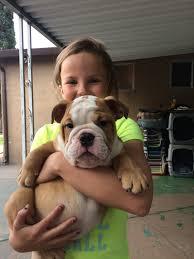 french bulldog puppies for english bulldog puppies for san francisco san jose sacramento santa rosa northern and central california bulldog