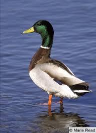 Puddle Ducks Id Flashcards Quizlet
