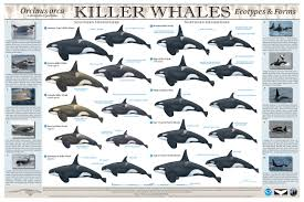 What Do You Mean There Are Different Types Of Killer Whales