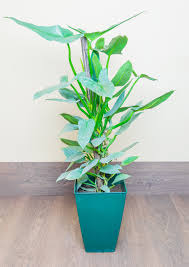 aside from an occasional need for fertilizer the philodendron care is easy to care