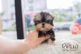 teacup puppy yorkie. Fine Puppy Kylie  Yorkie Rolly Teacup Puppies For Puppy F
