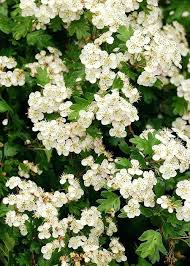 Great Shrubs For Winter Interest In The Northern And Central Winter Flowering Shrubs