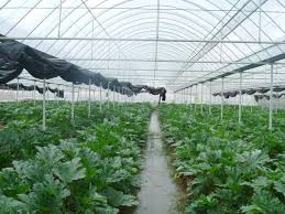 how to plant greenhouse vegetables in autumn and winter