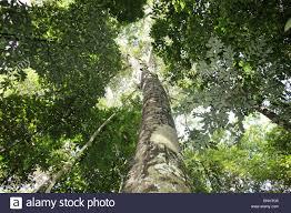 amazon rainforest tree leaves. Brilliant Amazon Brazil Amazon Rainforest Amazonia Jungle Forest Tropics Tropical Wood Tree  Trees Leaves Leaf Lush Green Nature With Rainforest Tree Leaves