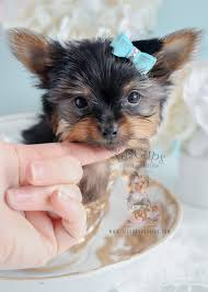 micro teacup yorkie puppies for sale.  For Puppy For Sale 269 Teacup Puppies Tiny Yorkie With Micro A