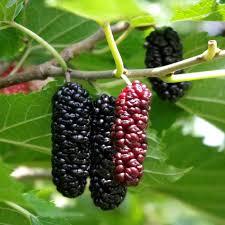 200 Mulberry Tree Seeds Morus Nigra Fruit Seeds In Bonsai Sweet Mulberry Tree No Fruit