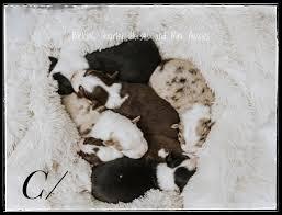 mini aussies tx mini aussie puppies tx mini aussies toy and mini aussies mini aussies in tx toy and mini aussies tx