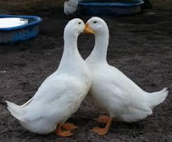 Image result for ducks animal