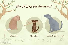 how to identify and treat abscesses in dogs