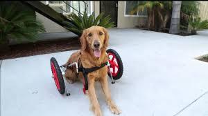 sitgo dog wheelchair demo hd 1080p