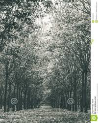 Rubber Tree In Rubber Forest Background Normal View Vertical