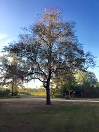 City Of Tallahassee Utility City Of Tallahassee Adopt A Tree Program Tallahasseecom