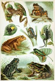 Frog Wikipedia