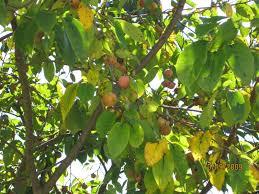 22 Best Fruit Trees Images On Pinterest  Fruit Trees Pears And Fruit Tree Nursery North Carolina