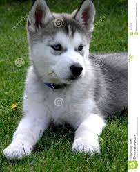 grey husky puppies with blue eyes. Delighful Grey Grey Huskies With Blue Eyes Inside Husky Puppies H