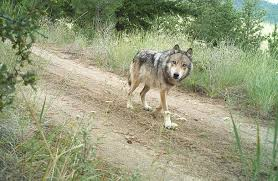 gray wolf pack in forest. Delighful Forest A Gray Wolf From The Lookout Pack Traveling On An Old Forest Road In Throughout Gray Wolf Pack In Forest