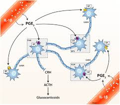 Hpa Axis Frontiers The Hpa Immune Axis And The Immunomodulatory Actions