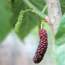 Pakistan Fruiting Mulberry Bare Root Tree Standard  GrowOrganiccomTree With Blackberry Like Fruit