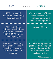 Similarities And Differences Between Mrna And Trna Chart Difference Between Rna And Mrna Definition Types