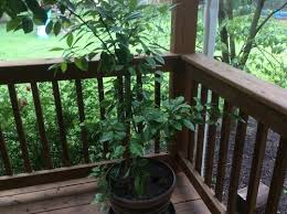 Amazoncom  Nagami Kumquat Tree  Garden U0026 OutdoorKumquat Tree Not Bearing Fruit