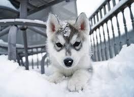 baby husky in snow. Delighful Husky Baby Husky In The Snow On