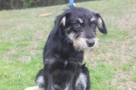 black terrier mix. Interesting Terrier FOUND Dog In Conway Faulkner Terrier Mix Black And Tan To Black Mix J