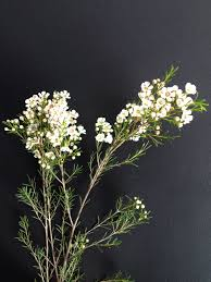 Jay Archer Floral Design Waxflower Image From Jay Archer Floral Design Lola