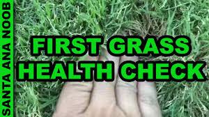 Grass Couch Santa Ana Couch Aka Bermuda Grass Health Check 1 Youtube