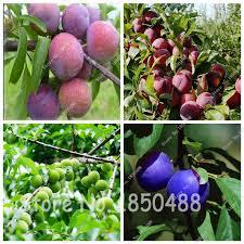 Plum Fruit Tree Varieties