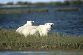 grolar bear size polar bear ursus maritimus wwf canada
