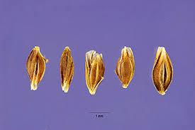 Plants Profile for Catabrosa aquatica (water whorlgrass)