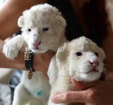 newborn white lion cubs. Beautiful Newborn Two New Born White Lion Cubs Are Seen At The Home Of Andrzej Pabich Owner  Private Zoo In Boryszew Central Poland On October 21 2014 To Newborn White Lion Cubs K