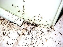 saveenlarge black ants in kitchen