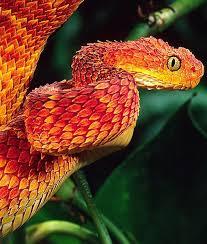 New boy sserunkuma eyeing vipers title win after debut goal. African Bush Viper African Bush Viper Viper Snake Beautiful Snakes