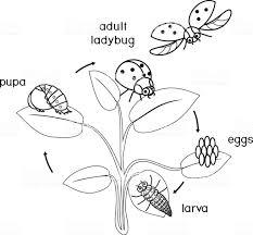 Levenscyclus Van Het Lieveheersbeestje Kleurplaten Pagina