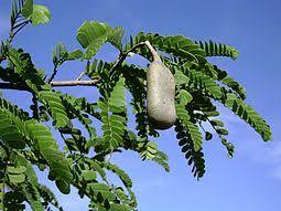 Image result for Green Tamarind Trees