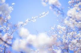桜-旅立ちの写真(画像)を無料ダウンロード - フリー素材のぱくたそ