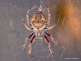 orbweb spider eriophora pustulosa hanging upside down in her orb web